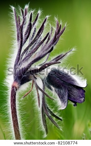 Photo of pulsatilla patens L flowers, grassy perennial, type of Family: Ranunculaceae subfamily: Ranunculoideae tribe: Anemoneae. - stock photo