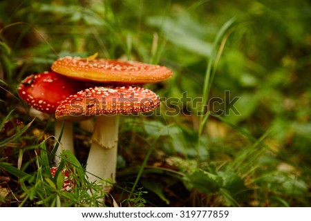 photo of red cup amanita muscaria poison mushrooms
