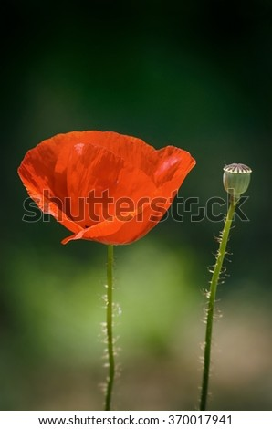 Photo of Single Red Poppy Flower - stock photo