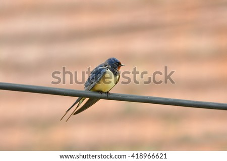 Photo of swallow, close up - stock photo