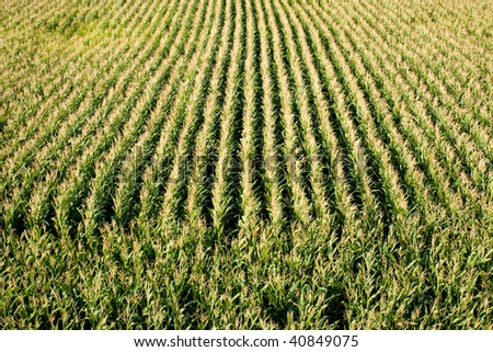 Photo of sweet corn field as a concept of agriculture