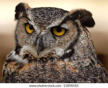 Photo of tethered Great Horned Owl - stock photo