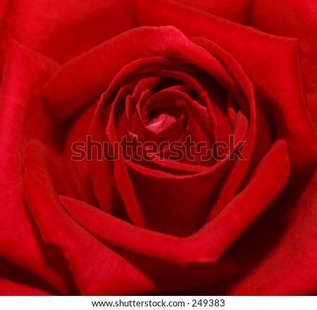 Photo of the center of a red rose.