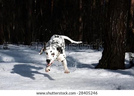 photo of the dalmatian dog jumping - stock photo