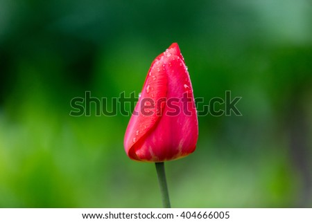 photo of the growing red tulip