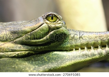 photo of the head and the eye of gavial in the water - stock photo
