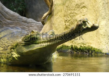 photo of the head of gavial in the water - stock photo