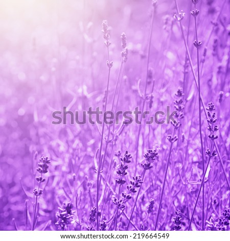 Photo of The Lavender Field - stock photo