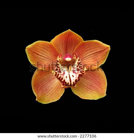 Photo of the orange orchid (isolated on black)