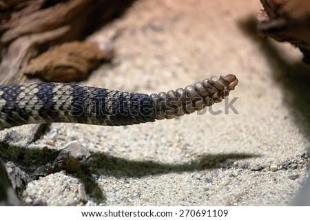 photo of the rattle of eastern diamondback rattlesnake - stock photo