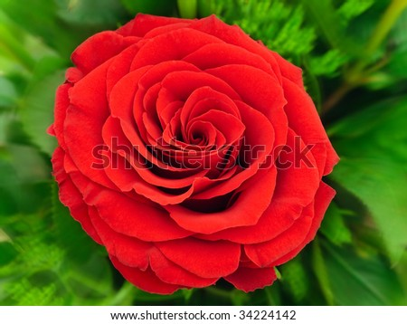 photo of the red rose with green leaves