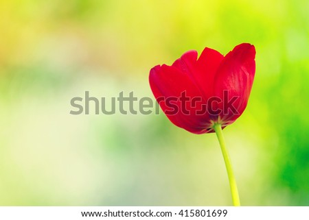 photo of the red tulip on the green background - stock photo