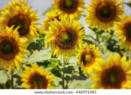 Photo of the Summer Sunflower Blossom Field - stock photo