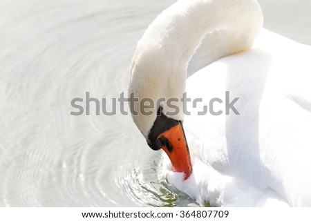 Photo of the white swan in the lake - stock photo