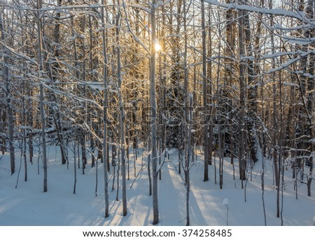 Photo of the winter forest. Trees covered with snow. Winter landscape, blue sky, bright sunny day. Russia.