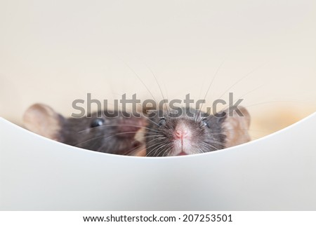 Photo of two mouses look out the partition - stock photo