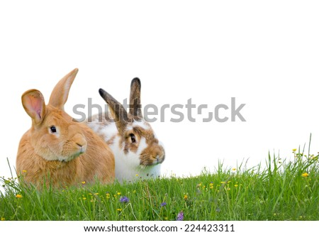 Photo of two rabbits sitting on grass isolated on white - stock photo