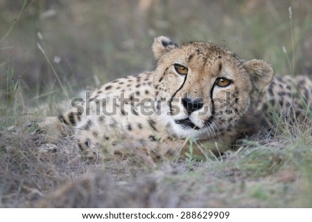 Photo of wild Cheetah resting on grassy ground and staring at camera from close distance.