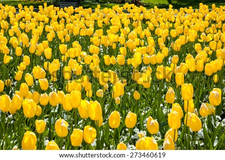 Photo of yellow tulips field on a sunny day - stock photo