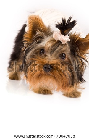 photo of young adorable yorkshire terrier