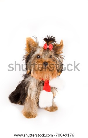 photo of young adorable yorkshire terrier with christmas scarf