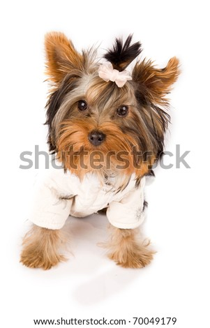 photo of young adorable yorkshire terrier with white jacket