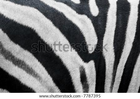photo of zebra skin fur texture - stock photo