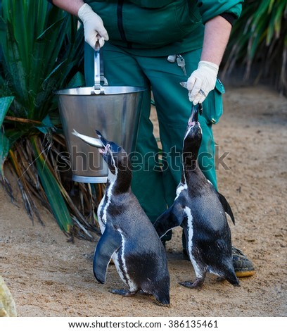 Photo of zookeeper feeding the penguins in zoo - stock photo