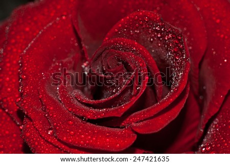 Photo roses which is embodied in the morning dew. - stock photo