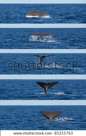 Photo series showing tail of diving sperm whale (Physeter macrocephalus), Sao Miguel, Azores. - stock photo