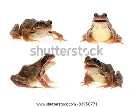 Photo set of common european frog, crawling and with open mouth as if it is singing, speaking or croaking - stock photo