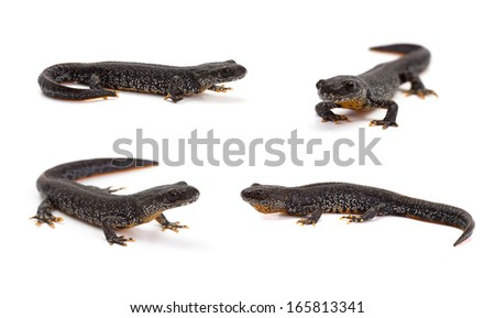 Photo set of great crested newt in isolated on white - stock photo