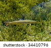 Photo showing a rainbow trout in the clear water of a lake. - stock photo