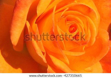 Photo shows a fragment of a beautiful orange rose flower - stock photo