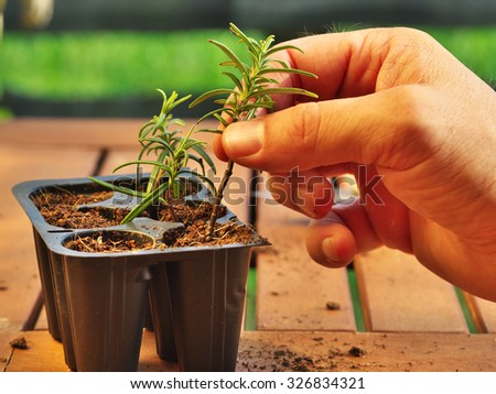 photo shows a hand holding a clipping (with fresh new roots) of rosemary before potting - stock photo