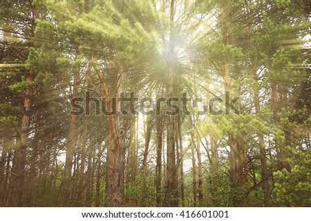 Photo which shows the sun's rays filtering through the tree trunks. - stock photo