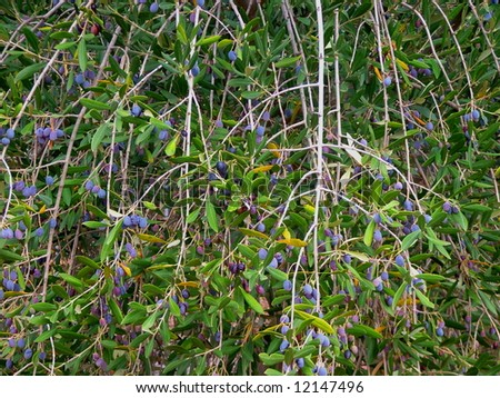Photograph featuring olives growing in the Adelaide Botanic Gardens (Australia). - stock photo