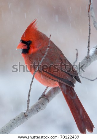 Photograph of a beautiful bright red male Northern Cardinal, Cardinalis cardinals, perched on a branch in a winter midwestern garden. - stock photo