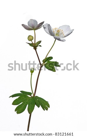 Photograph of a beautiful false rue anemone flower, an early spring ephemeral, isolated against a white background. - stock photo
