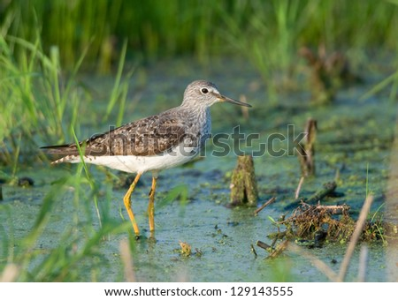 Photograph of a beautiful Lesser Yellowlegs wading in the shallow waters of a midwest wildlife refuge. - stock photo