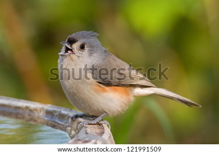 Photograph of a beautiful tiny Tufted Titmouse perched on the edge of a birdbath in a colorful autumn setting. - stock photo