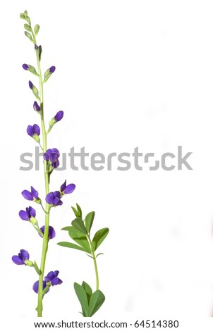 Photograph of a Blue Indigo Flower, Baptisia australis, placed in a vase and isolated against a white background with a desirable vertical format. - stock photo