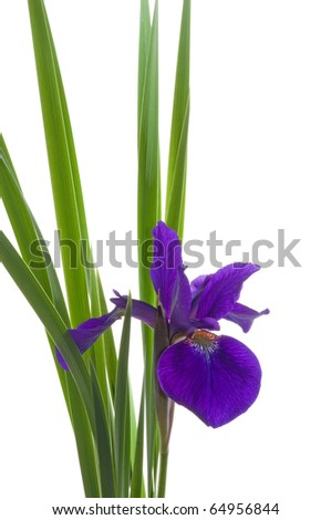 Photograph of a brilliantly colored and beautiful Dutch Iris, picked from a Wisconsin garden and placed in a vase and isolated against a white background.