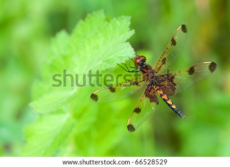 Photograph of a Calico Pennant dragonfly, Celithemis elisa, perched on a leaf while hunting in a northwoods Wisconsin meadow. - stock photo