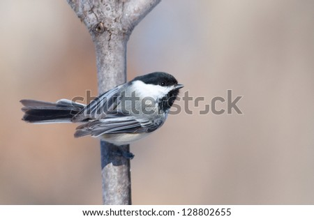Photograph of a cute tiny Black-capped Chickadee perched sideways on a branch as it surveys a midwest bird feeding station. - stock photo