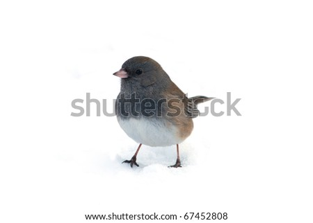 Photograph of a Dark-eyed Junco, Junco hyemalis, standing in a snowy landscape and isolated against a white background. - stock photo