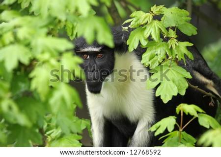 Photograph of a Diana Monkey (Guenon) - stock photo