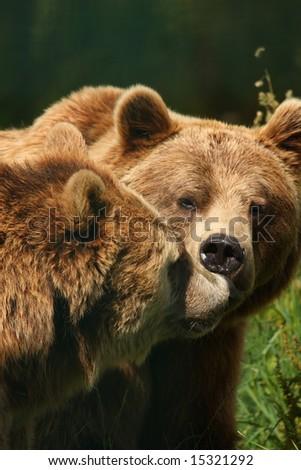 photograph of a european brown bear - stock photo