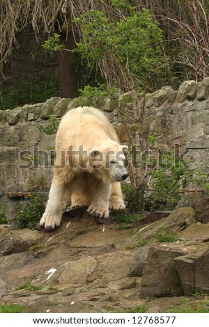 photograph of a female polar bear