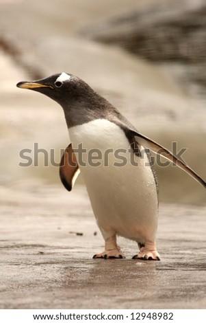 Photograph of a Gentoo Penguin - stock photo